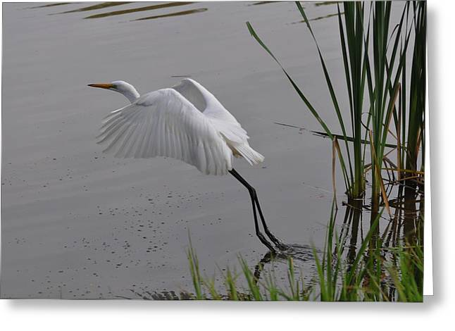 Egret Leaving Bank - C3511c Greeting Card by Paul Lyndon Phillips
