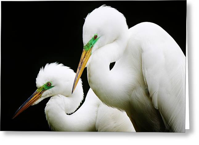 Paulette Thomas Greeting Cards - Egret Mates Greeting Card by Paulette Thomas