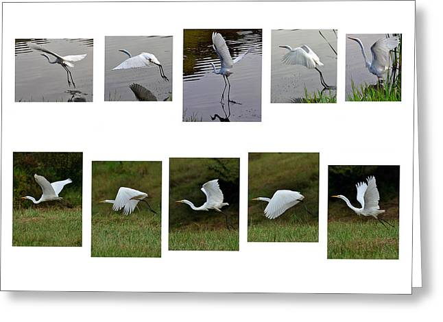 Egret Greeting Cards - Egret Small White Wings - 1cf  Greeting Card by Paul Lyndon Phillips