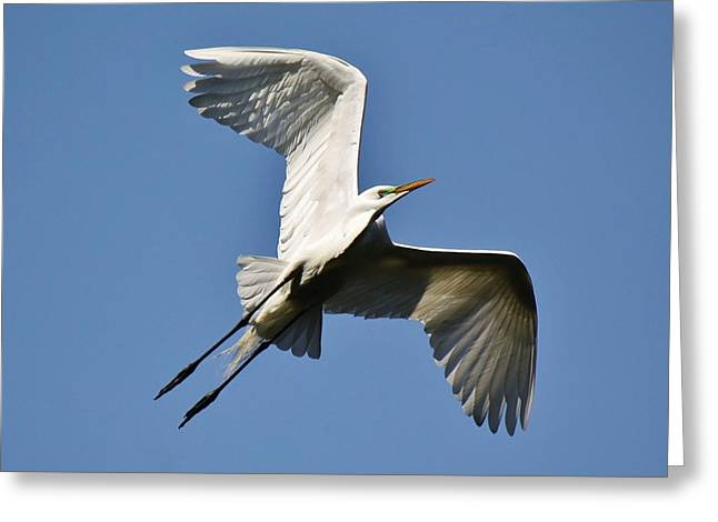 Egret Soaring Greeting Card by Paulette Thomas