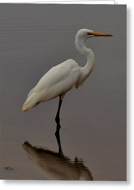 Heron Greeting Cards - Egret Standing in Pond - c3284d Greeting Card by Paul Lyndon Phillips