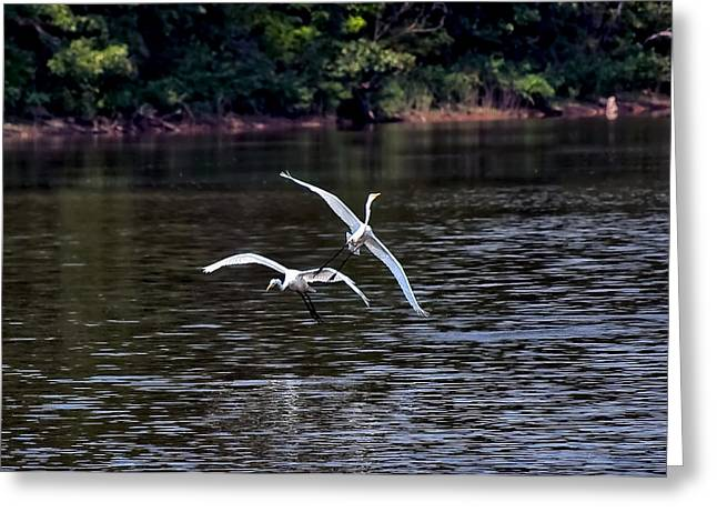 Egrets V Greeting Card by Gary Adkins
