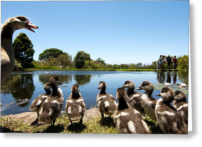 Duck Pond Greeting Cards - Egyptian geese Greeting Card by Fabrizio Troiani