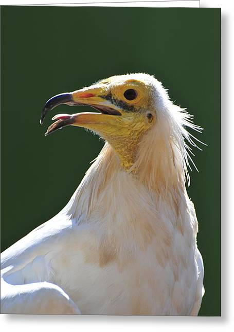 Biological Greeting Cards - Egyptian Vulture Greeting Card by Photostock-israel