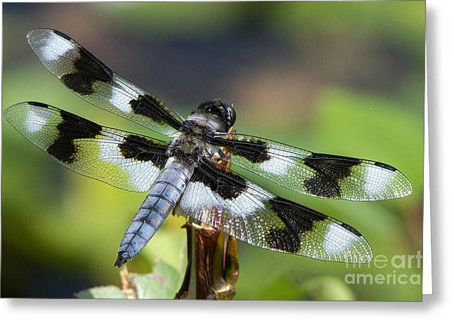 Eight Greeting Cards - Eight-spotted Skimmer  Greeting Card by Sharon  Talson