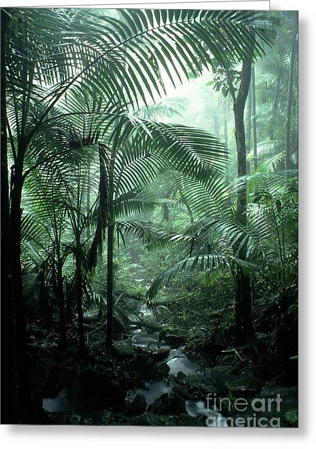 Puerto Rico Greeting Cards - El Yunque National Forest Palms and Stream Greeting Card by Thomas R Fletcher