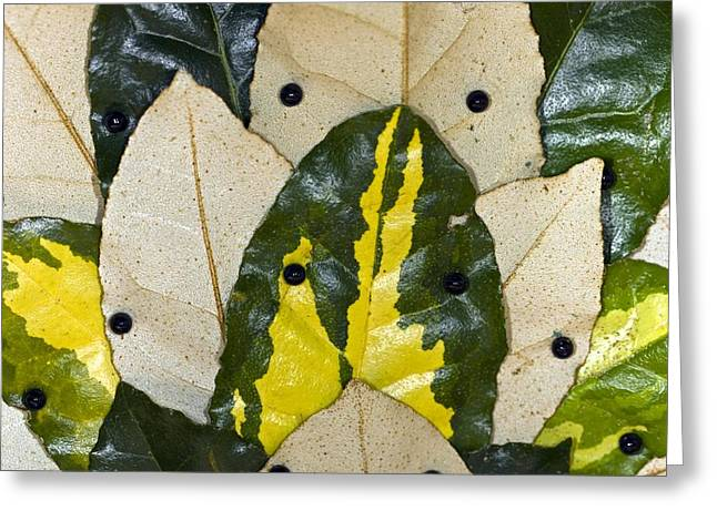 Elaeagnus Pungens 'maculata' Leaves Greeting Card by Dr Keith Wheeler