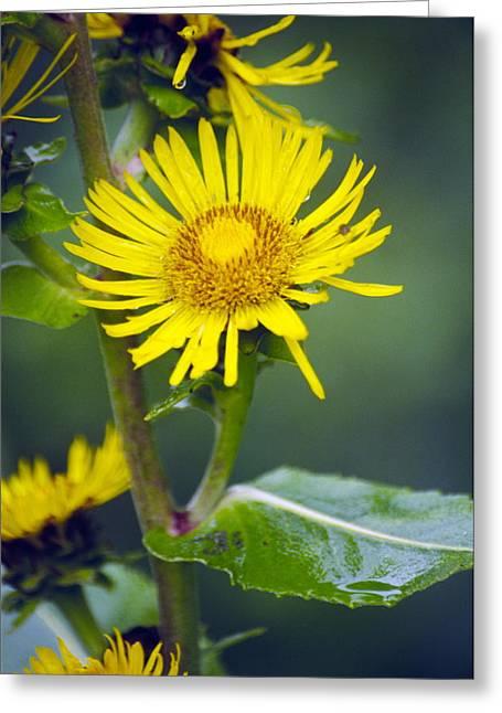 Biology Greeting Cards - Elecampane Flowers (inula Helenium) Greeting Card by Dr. Nick Kurzenko