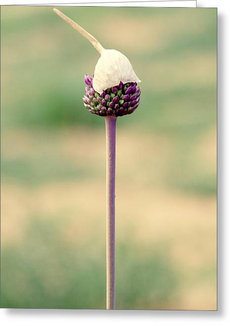 Alliums Greeting Cards - Elegance Greeting Card by Stylianos Kleanthous