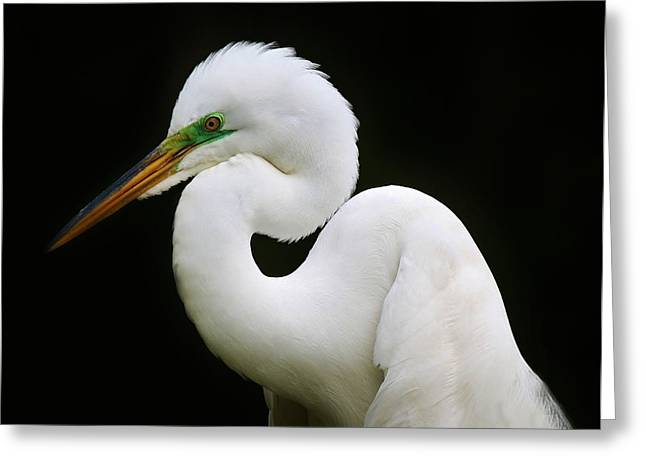 Elegant Great White Egret Greeting Card by Paulette Thomas