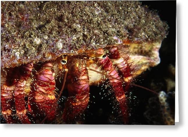 Costa Greeting Cards - Elegant Hermit Crab Peeks Out Of Shell Greeting Card by James Forte