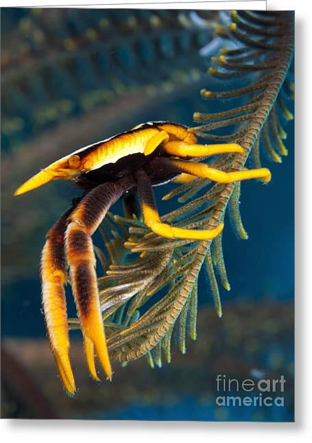Aquatic Animal Greeting Cards - Elegant Squat Lobster, Papua New Guinea Greeting Card by Steve Jones