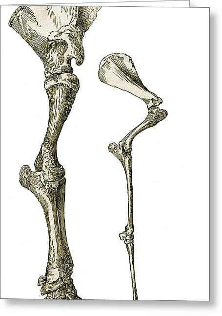 Elephant And Camel Leg Bones, Artwork Greeting Card by Sheila Terry