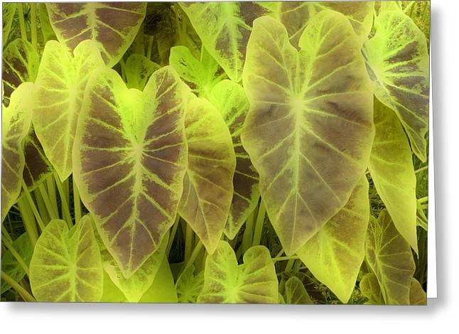 Elephant Ear Plant Greeting Cards - Elephant Ear (colocasia Esculenta) Greeting Card by Maria Mosolova