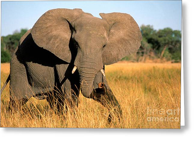 Mammalia Greeting Cards - Elephant Greeting Card by Gregory G Dimijian and Photo Researchers