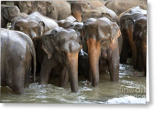 Tusk Greeting Cards - Elephant herd in river Greeting Card by Jane Rix