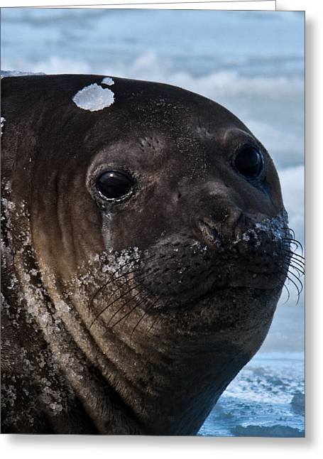 Elephant Seals Greeting Cards - Elephant Seal 13 Greeting Card by David Barringhaus