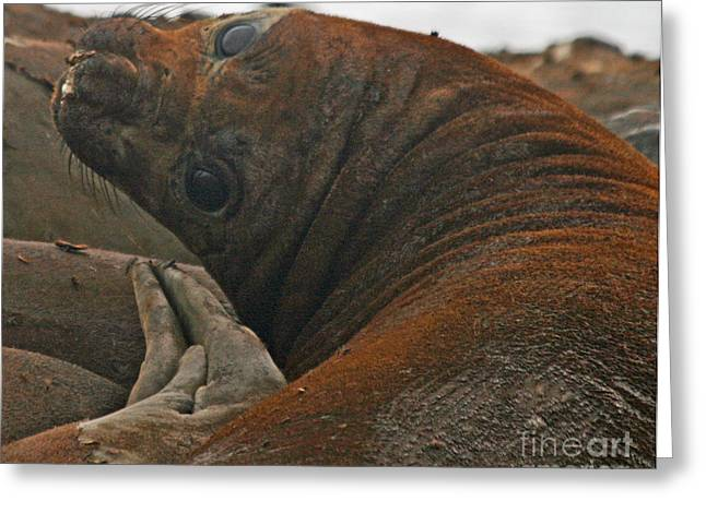 Elephant Seals Greeting Cards - Elephant seal 19 Greeting Card by Ruth Hallam