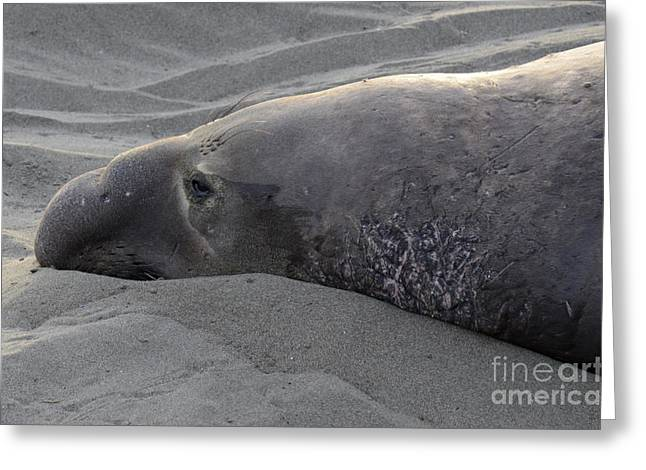 Elephant Seal 5 Greeting Card by Bob Christopher