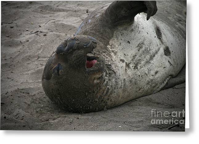 Best Sellers -  - Elephant Seals Greeting Cards - Elephant Seal Greeting Card by Brenton Woodruff