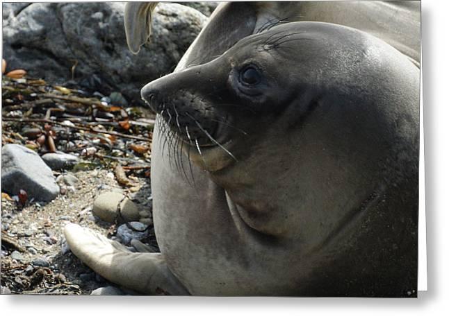 Elephant Seals Greeting Cards - Elephant Seal Greeting Card by Ernie Echols
