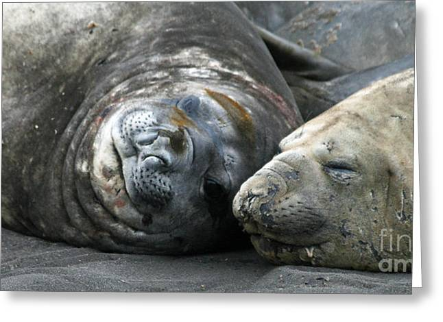 Elephant Seals Greeting Cards - Elephant seals 8 Greeting Card by Ruth Hallam