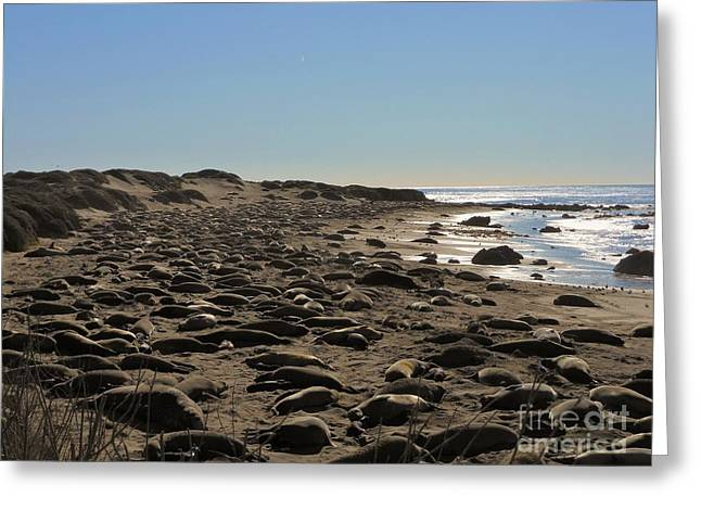 Cambria Greeting Cards - Elephant Seals in the Masses Greeting Card by Benjamin Stevenson