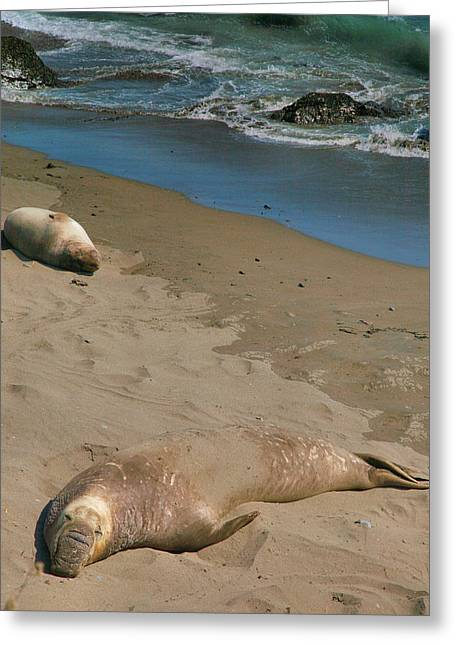 Pacific Ocean Prints Greeting Cards - Elephant Seals Molting Greeting Card by Steven Ainsworth