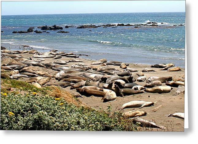 Elephant Seals Greeting Cards - Elephant Seals of the Friends Greeting Card by PJQandFriends Photography
