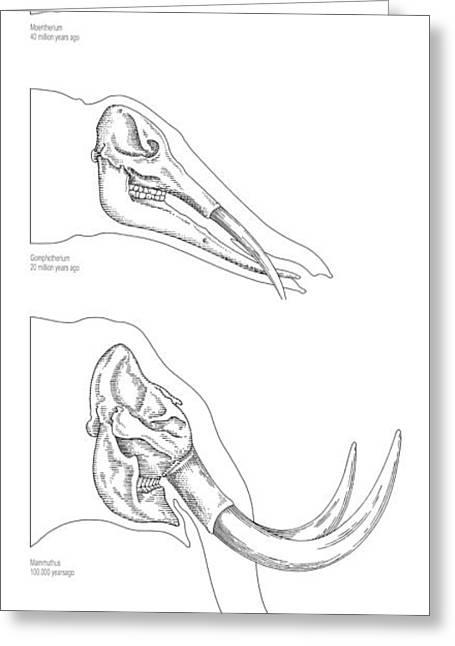 Lineage Greeting Cards - Elephant Tusk Evolution, Artwork Greeting Card by Gary Hincks