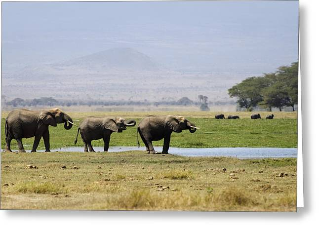 Elephants At The Watering Hole Greeting Card by Marion McCristall