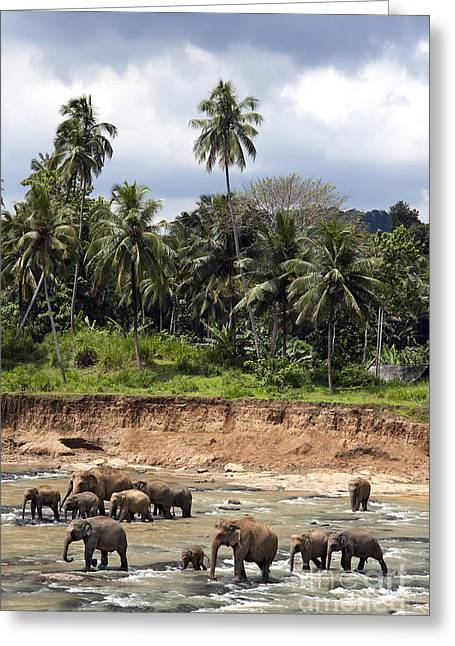 Sri Lanka Greeting Cards - Elephants in the river Greeting Card by Jane Rix
