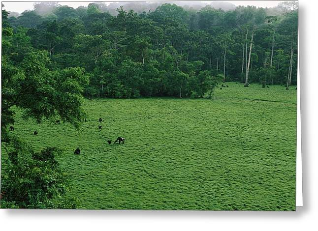 Park Scene Greeting Cards - Elevated View Of Gorillas In A Forest Greeting Card by Michael Nichols