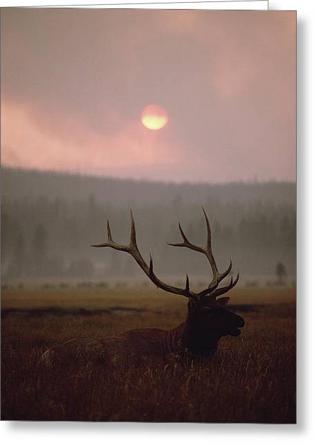 Shoulder-fired Greeting Cards - Elk Cervus Elaphus Resting In Tall Greeting Card by Michael Quinton