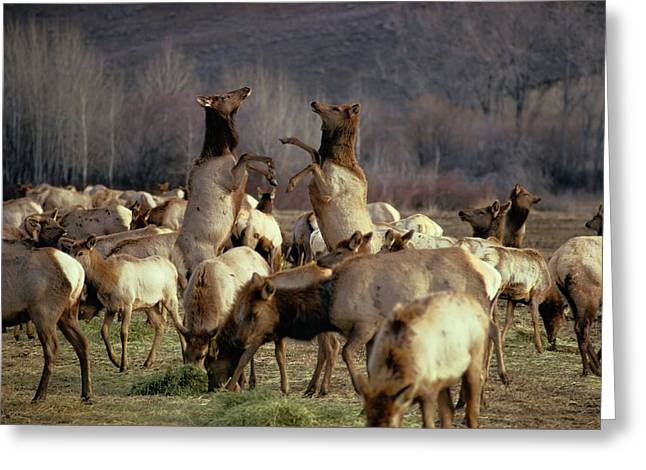 Hind Greeting Cards - Elk Cows Spar In The Midst Greeting Card by Sam Abell