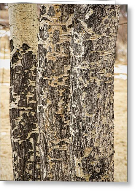 Rubbing Greeting Cards - Elk Gnawed Horning Aspen Trees Fine Art Print  Greeting Card by James BO  Insogna