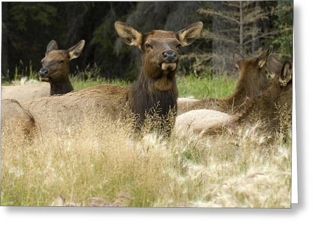 Harem Photographs Greeting Cards - Elk Harem Greeting Card by Bob Christopher