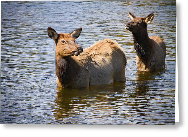 Cow Images Photographs Greeting Cards - Elk in Colorado Estes Lake Greeting Card by James BO  Insogna