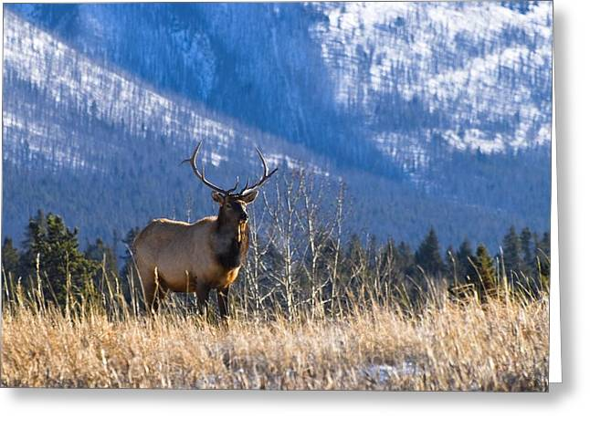 Elk In Forest, Banff National Park Greeting Card by Philippe Widling