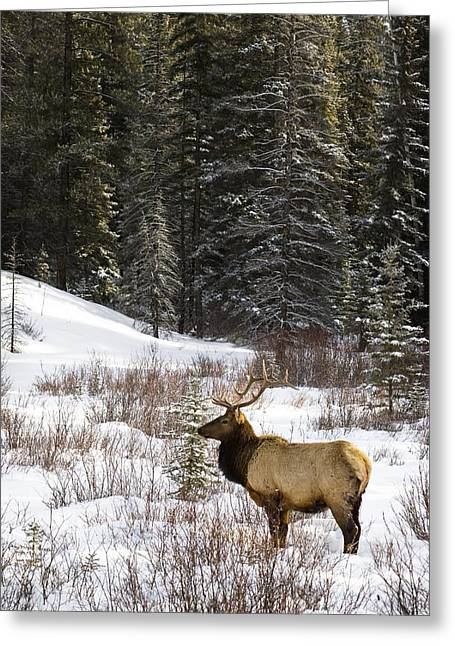 Canadian Prairies Greeting Cards - Elk In Winter Forest, Banff National Greeting Card by Philippe Widling
