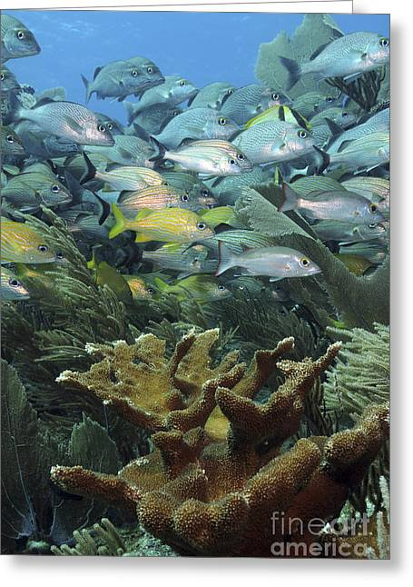 Grunts Greeting Cards - Elkhorn Coral With Schooling Grunts Greeting Card by Karen Doody