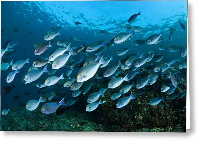 Elongate Surgeonfish Greeting Cards - Elongate Surgeonfish Greeting Card by Matthew Oldfield