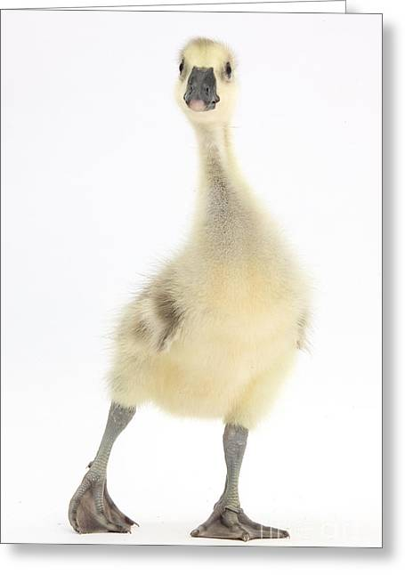 Greylag Greeting Cards - Embden X Greylag Gosling Greeting Card by Mark Taylor