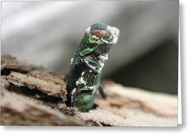 Insect Control Greeting Cards - Emerging Ash Borer With Fungus Greeting Card by Science Source