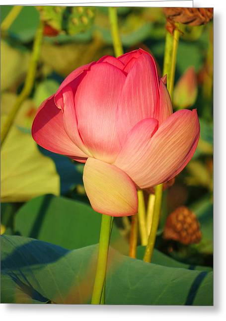 Lotus Bud Greeting Cards - Emerging lotus Greeting Card by Vijay Sharon Govender