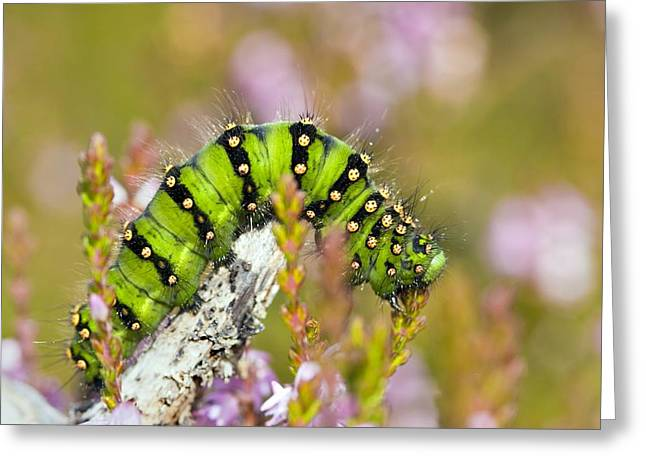 Best Sellers -  - Eating Entomology Greeting Cards - Emperor Moth Caterpillar Greeting Card by Duncan Shaw