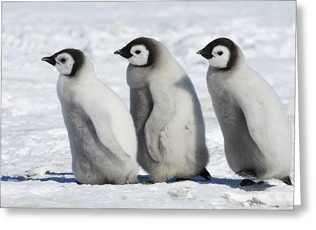 Aptenodytes Sp Greeting Cards - Emperor Penguin Aptenodytes Forsteri Greeting Card by Otto Plantema