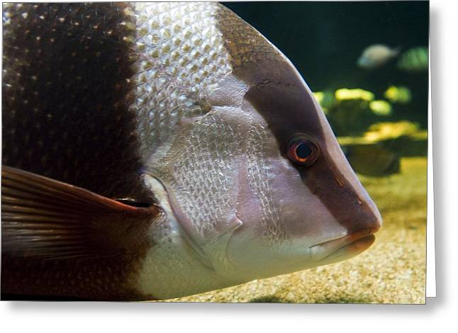 Red Snapper Greeting Cards - Emperor Red Snapper Greeting Card by Alexis Rosenfeld