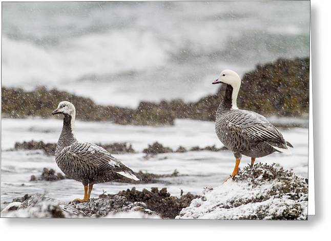 Kodiak Greeting Cards - Emporer Geese in Snow Greeting Card by Tim Grams