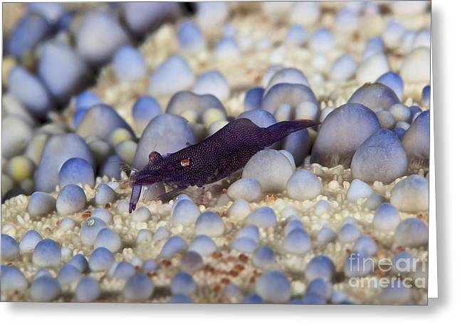 Decapoda Greeting Cards - Emporer Shrimp On A Large Pin Cushion Greeting Card by Terry Moore